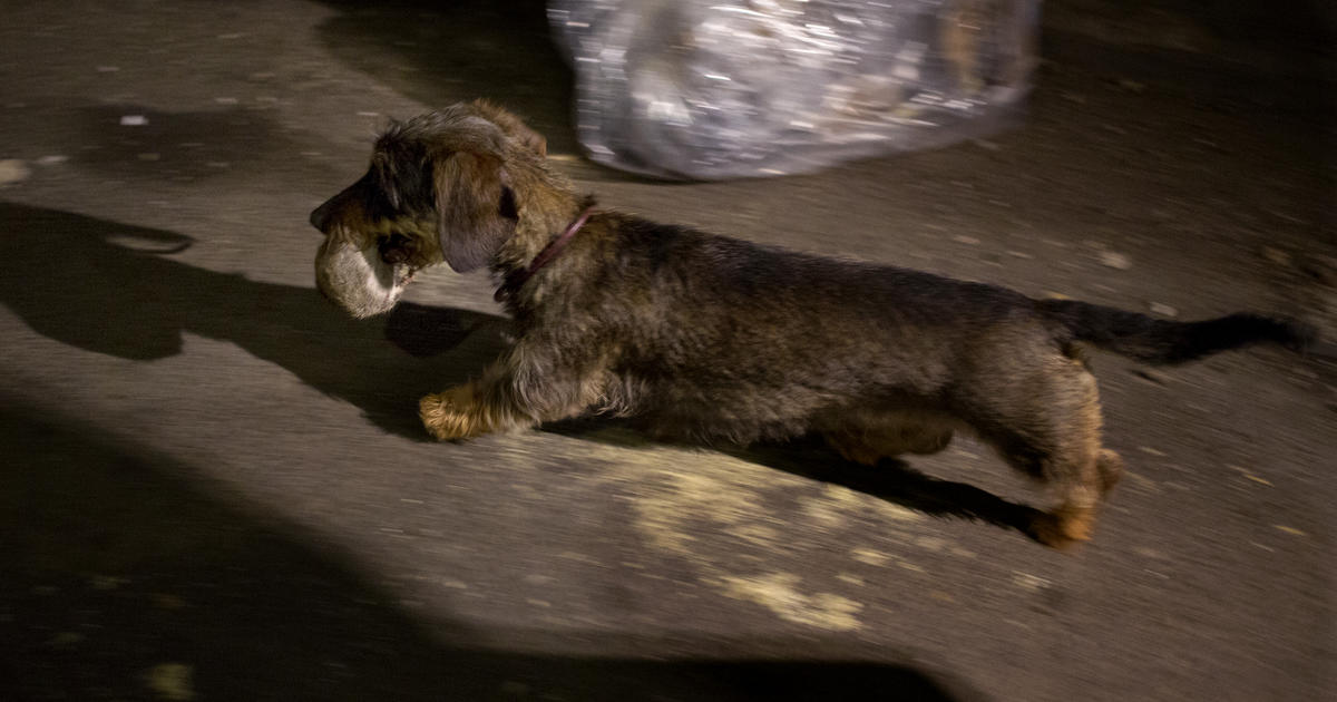 Hunting Nyc Style Owners Set Dogs On Alley Rats Cbs News