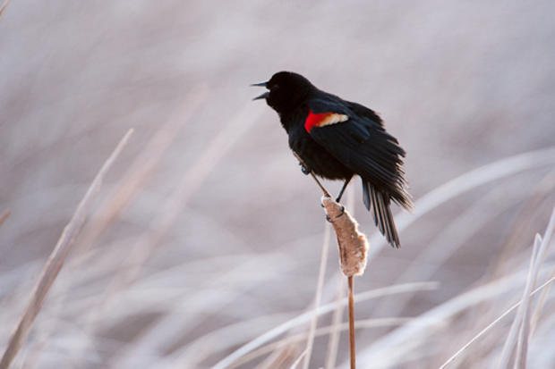 Sartore_Redwingedblackbird.jpg