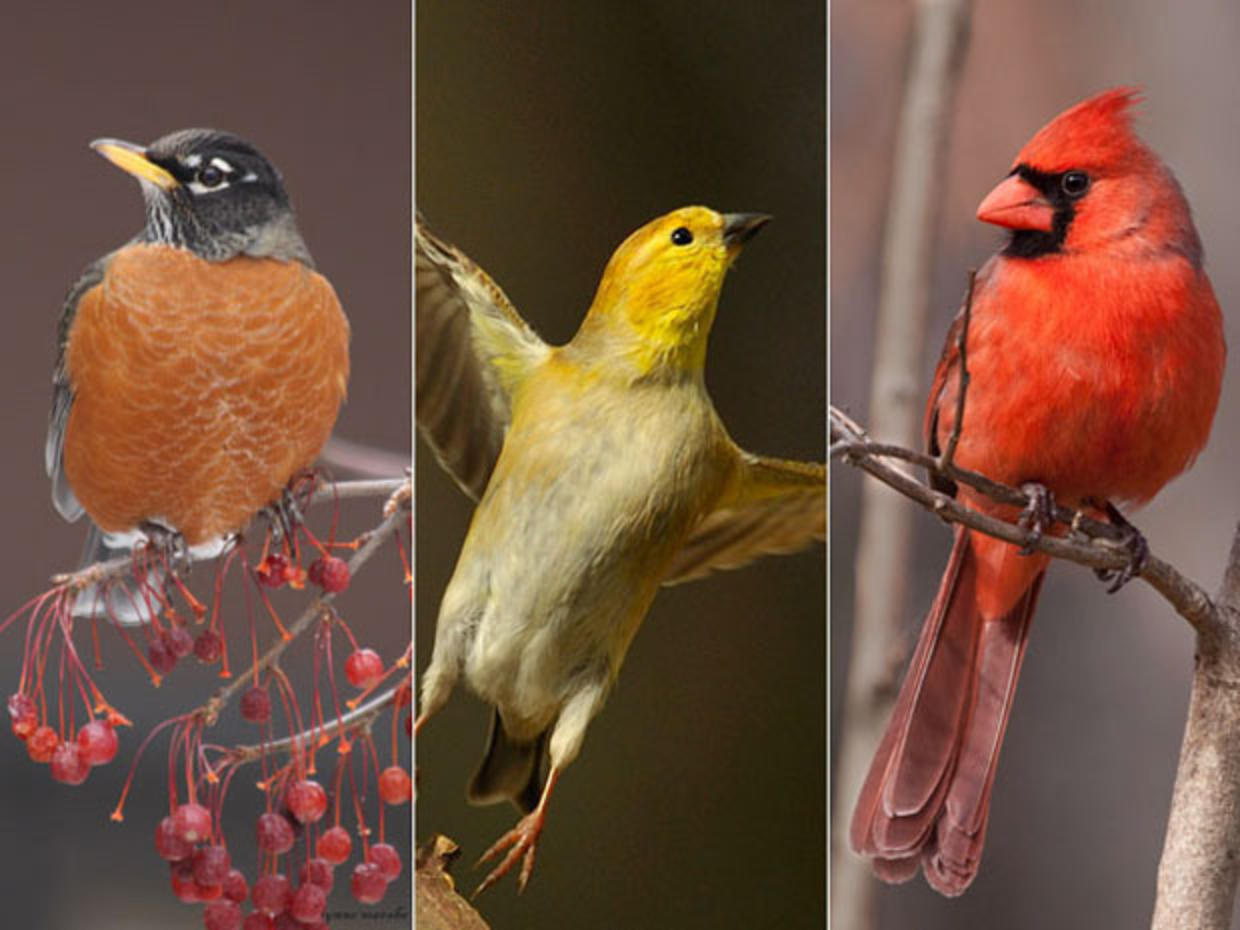 Mourning Dove or Northern Cardinal? - Blind birding ...