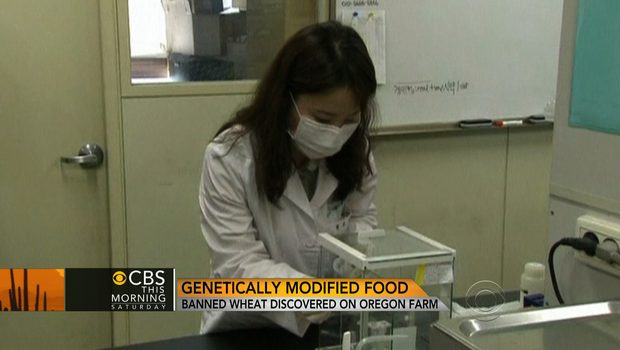 Genetically modified wheat found in Oregon spurs