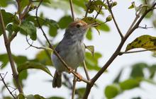 New species: Cambodian Tailorbird