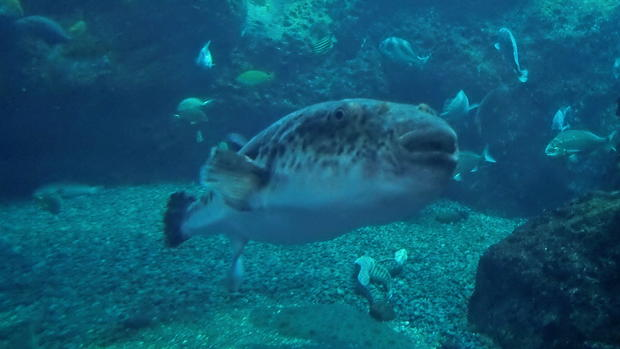 The deadly puffer fish