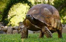 The race to save the tortoise