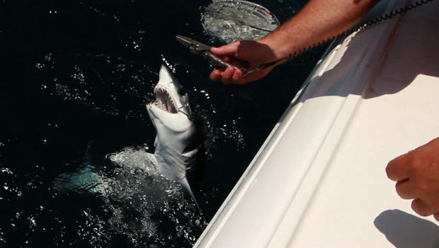 A fisherman cuts the cord to let a shark go free off the coast of Long Island.