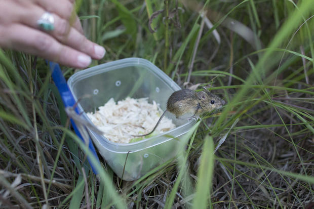 Tiny mice could be environmental saviors