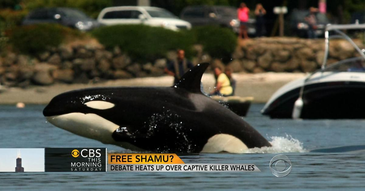 dolphins in captivity essay Killer whales in captivity essay - after watching several documentaries on how poorly killer whales are treated in captivity, it drew me into researching more information on the treatment of killer whales that are kept in captivity.