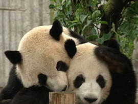 Watch: Chinese researchers work to save pandas