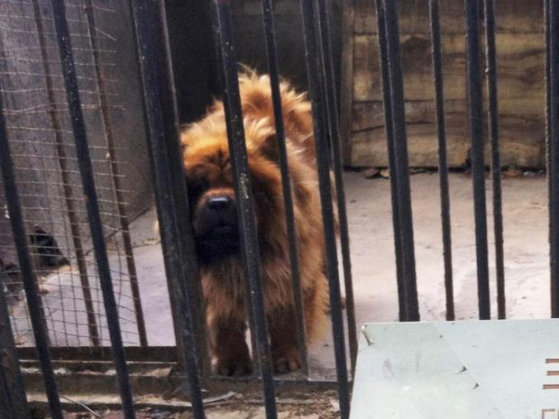 """In this photo taken Monday Aug. 12, 2013, a Tibetan mastiff looks out from a cage near a sign which reads """"African lion"""" in Luohe zoo in Luohe in central China's Henan province. Reports say the zoo in the central China city of Luohe attempted to pass off a Tibetan mastiff as a lion."""