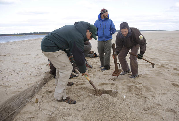 Saving shore birds in Cape Cod