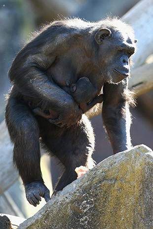 Aussie zoo welcomes baby chimp
