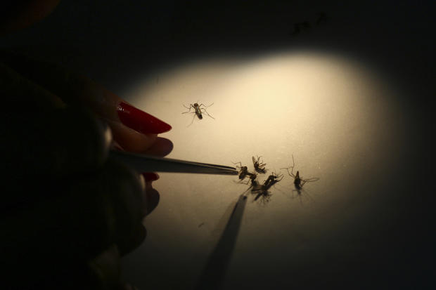 Using mosquitoes to fight Dengue fever