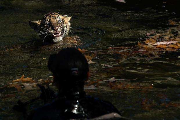 Tiny tigers face swim test