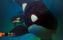 Will SeaWorld trainers swim with killer whales again?