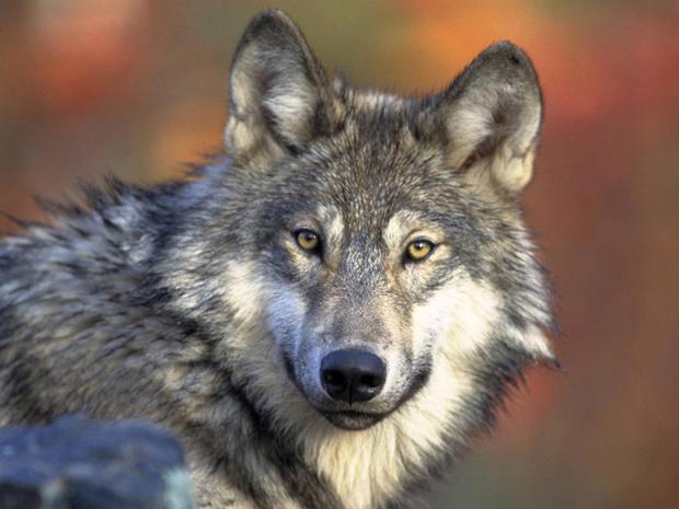 Gray_Wolf_Gary_Kramer_FWS.jpg