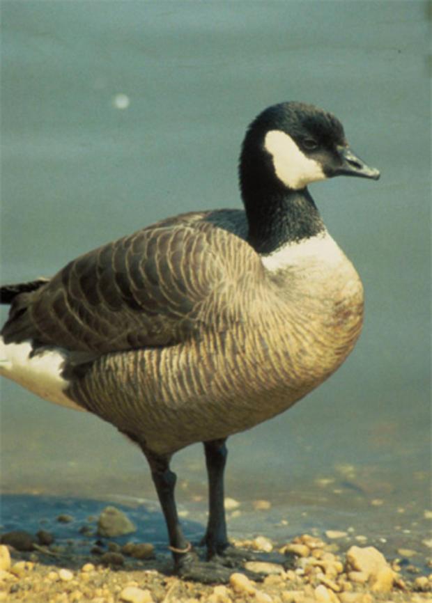 Aleutian_Canada_Goose_Glen_Smart_FWS.jpg