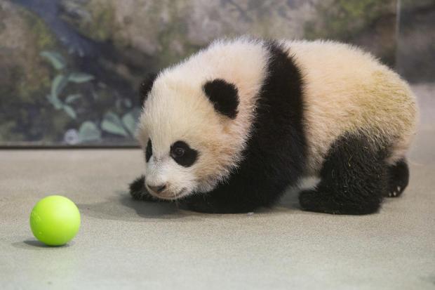 Bao Bao takes a bow