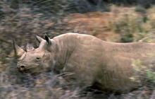 Rhino hunt controversy: Critics slam permit to kill endangered animal