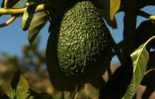 Avocado crops feeling sting of Calif. drought