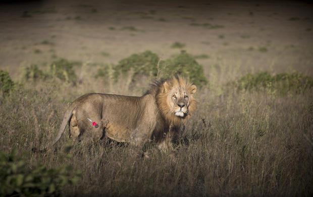 GPS for Kenya's lions