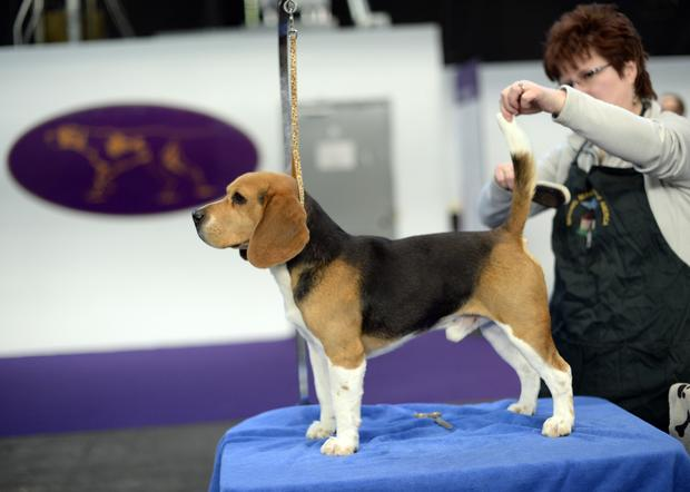 Pooches prep for Westminster