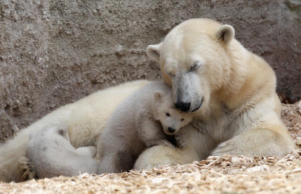 Twin polar bear cubs make debut