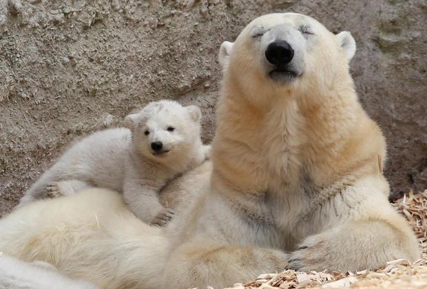 Polar bear twins