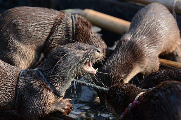 Otters aid Bangladesh fishermen