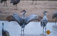 The magnificent sandhill crane migration