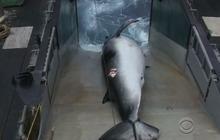 UN court orders Japan to halt annual Antarctic whale hunt