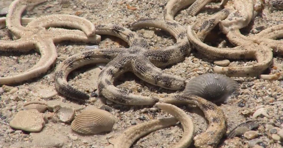 Dead Starfish Washing Ashore In Alabama Cbs News