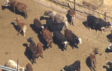Feds release livestock to ease Nevada standoff