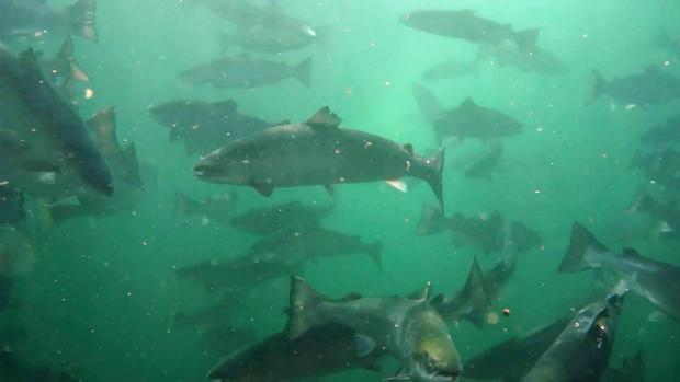salmon-final-underwater.jpg