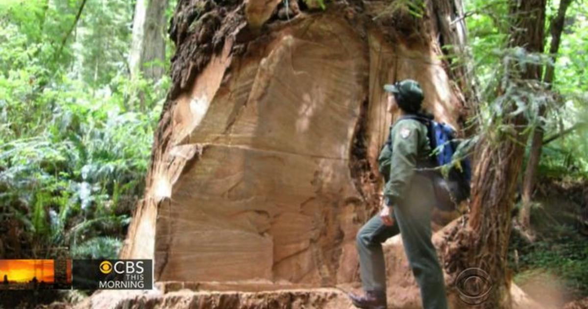 California Redwood Trees Under Attack By Poachers For