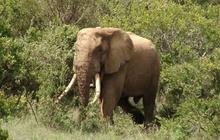 Legendary six-ton elephant, Mountain Bull, found dead