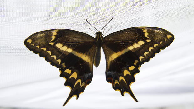 Life cycle of rare Schaus' swallowtail butterflies