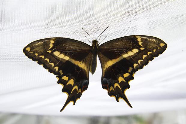schausswallowtail011.jpg