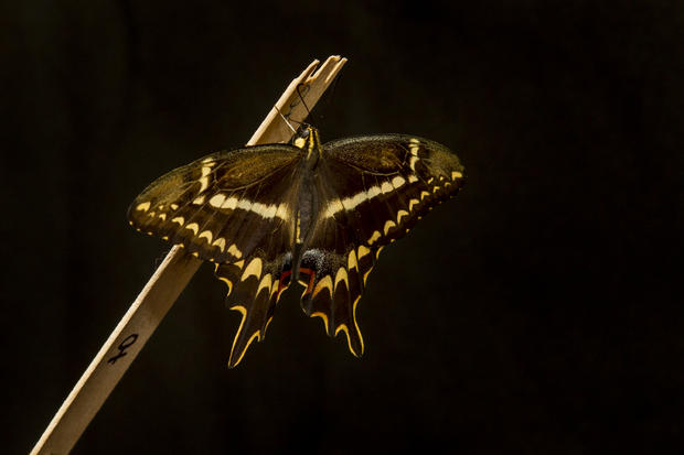 schausswallowtail007.jpg