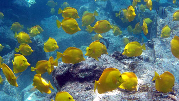 Ethical battle over harvesting aquarium fish in hawaii for 405 tropical fish