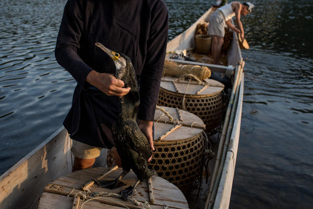 The bird fishermen of Japan