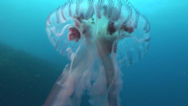 jellyfish-cbs-news-promo.jpg