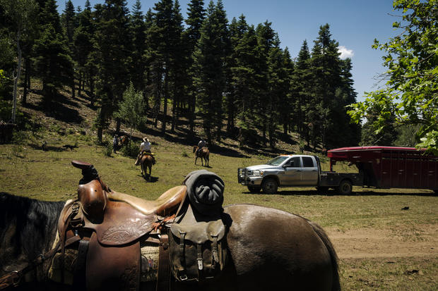 Modern day cowboys drive cattle in Colorado