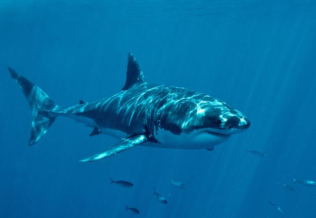 A great white shark is seen off Guadalupe Island in Baja California, Mexico.