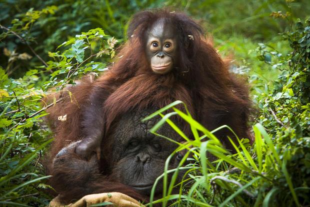 orangutananddaughter.jpg