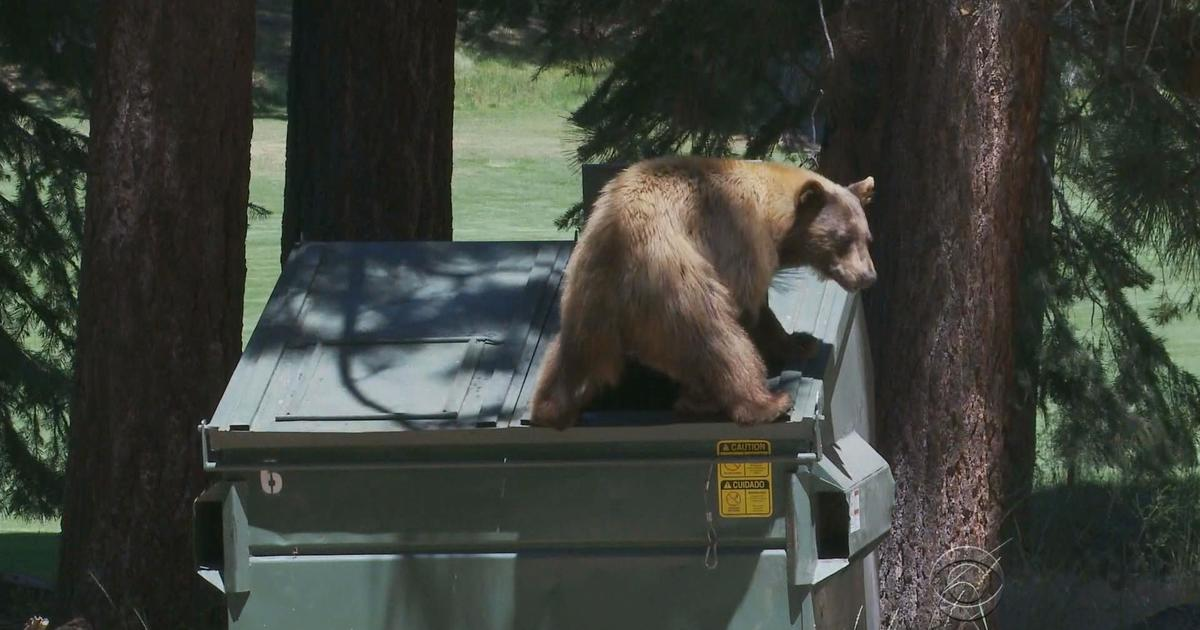 Bears Going Out On The Town In Nevada Cbs News