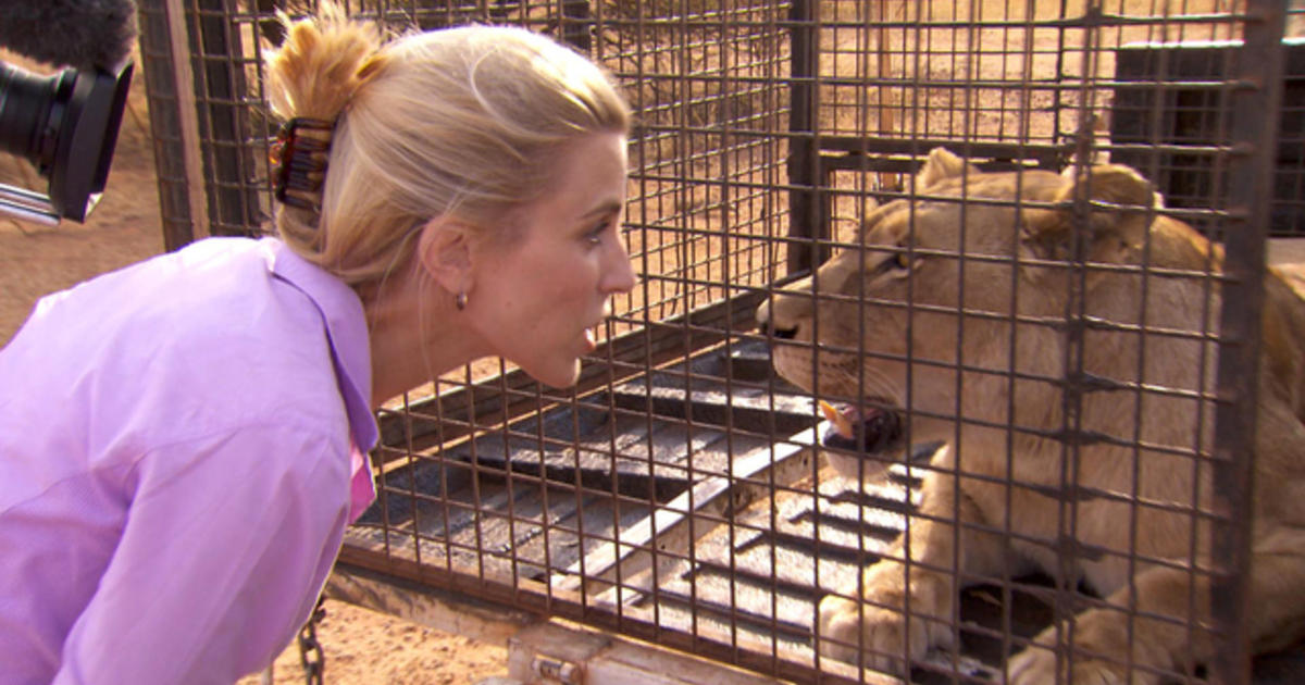 Face To Face With Lions Cbs News