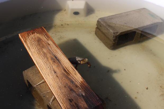 turtle ucla