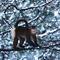 snub-nosed-monkeys-shen-cheng-13.jpg