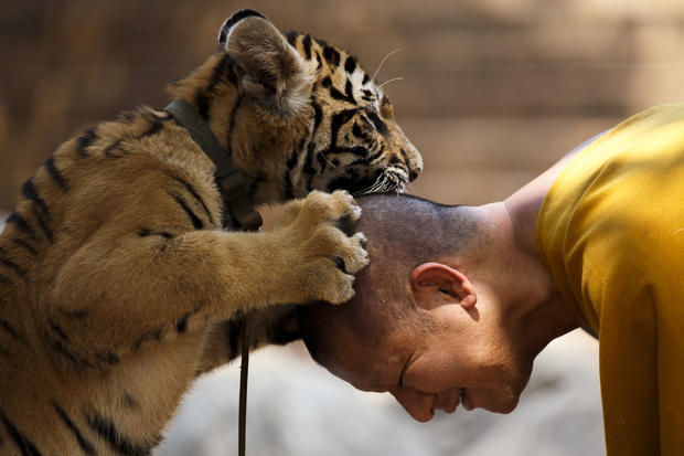 A Buddhist monk plays with a tiger at the Wat Pa Luang Ta Bua, otherwise known as Tiger Temple, in Kanchanaburi province, Thailand, Feb. 12, 2015.