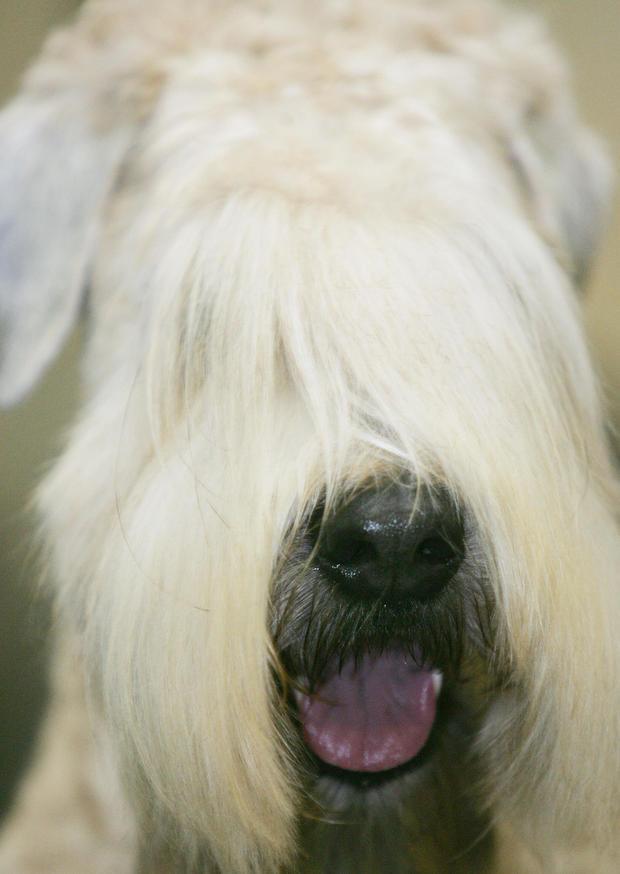 soft-coated-wheaten-terrier.jpg