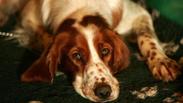 22 vulnerable dog breeds that could disappear